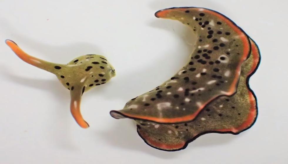 csiga, ami a fejéből új testet növeszt - krónika